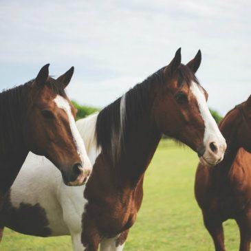 Hesteforsikring – alt du bør vide
