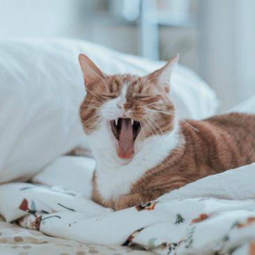 Katteforsikringer – Undgå en dyr kattepine